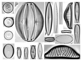 multiple diatom images